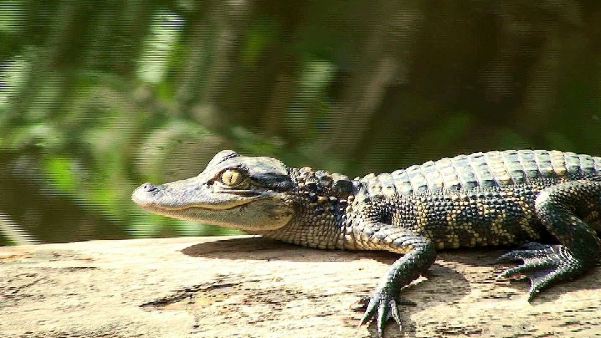 The Life Cycle Of A Wild Alligator In The Everglades