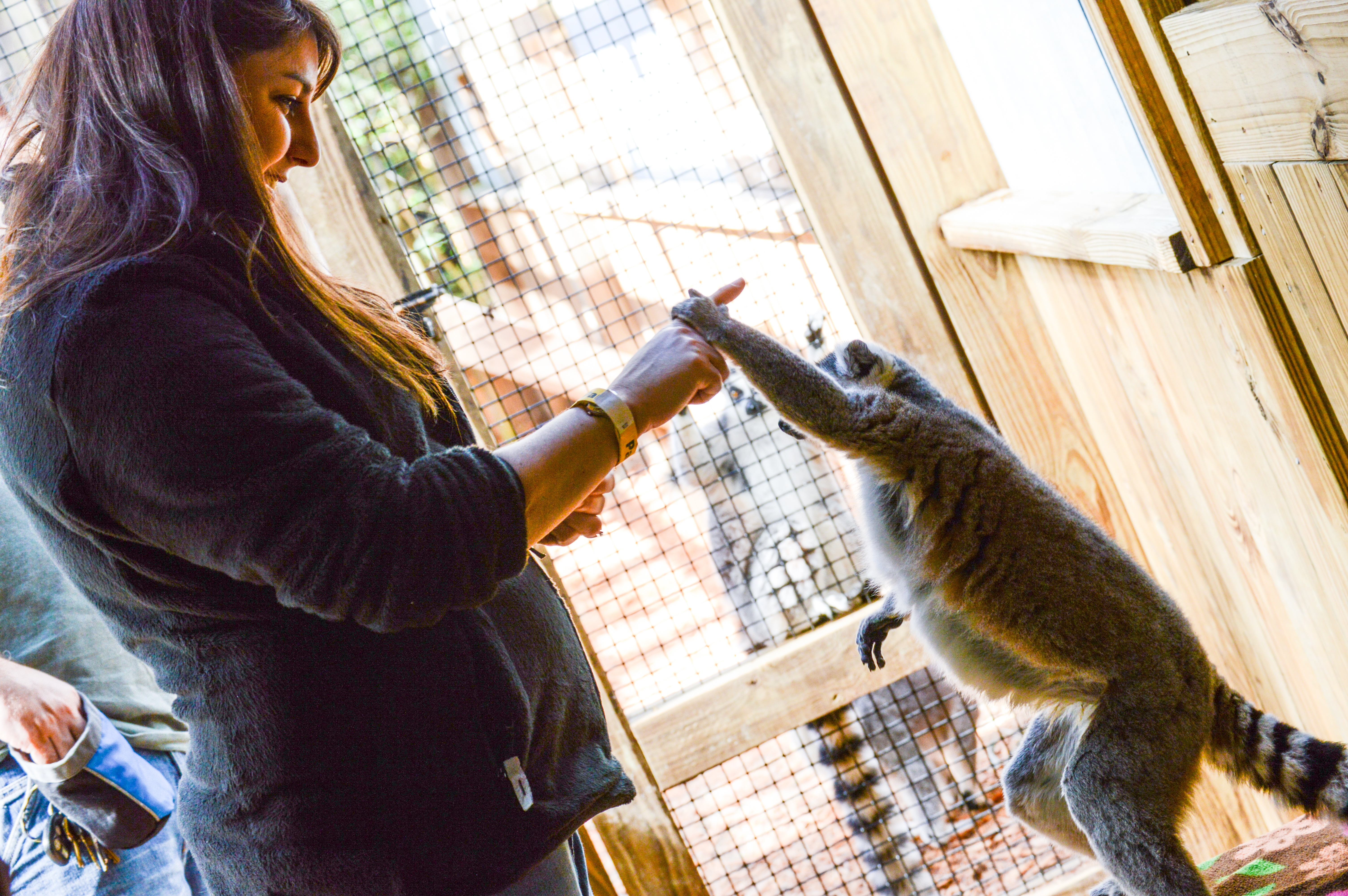 Lemur and girl holding hands