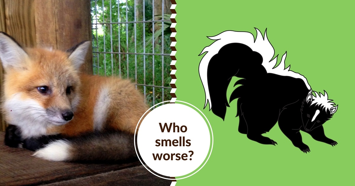 We know what the fox says, but you don't know how bad he smells