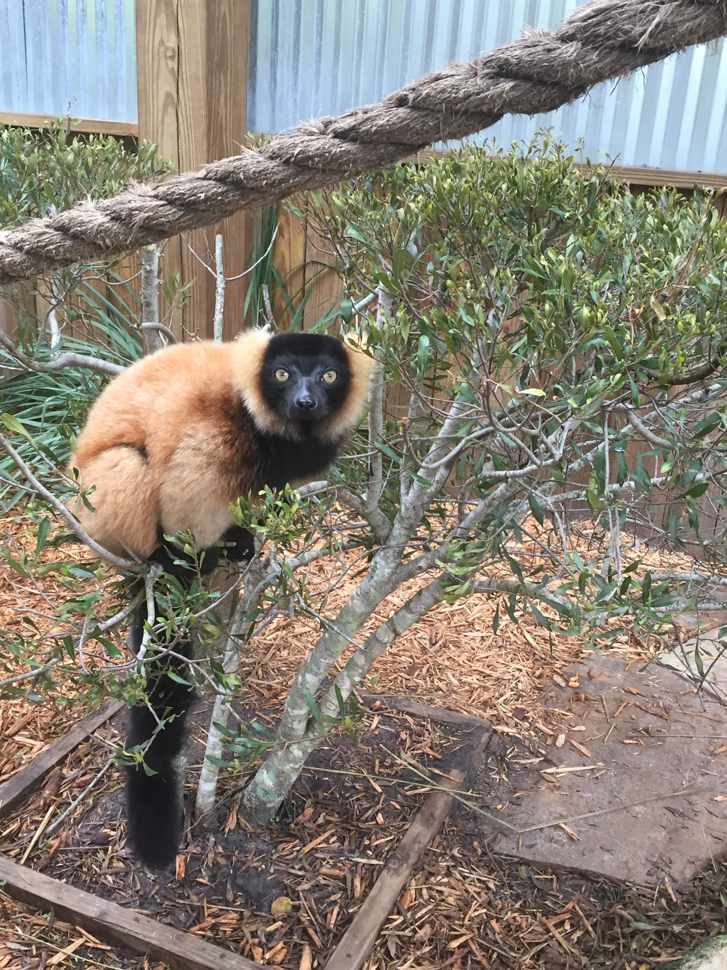red-ruffed_lemur